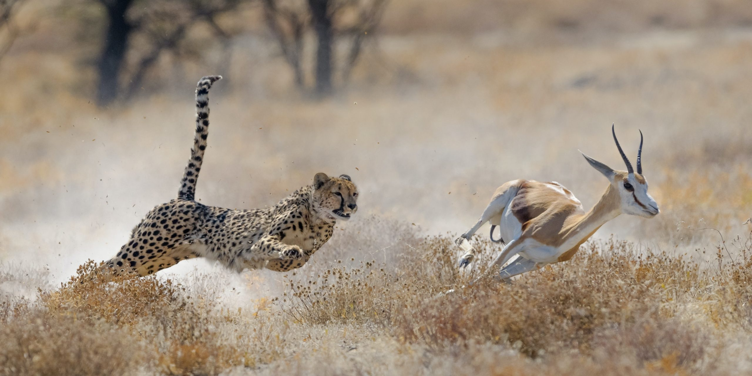 A cheetah chases after a small antelope.