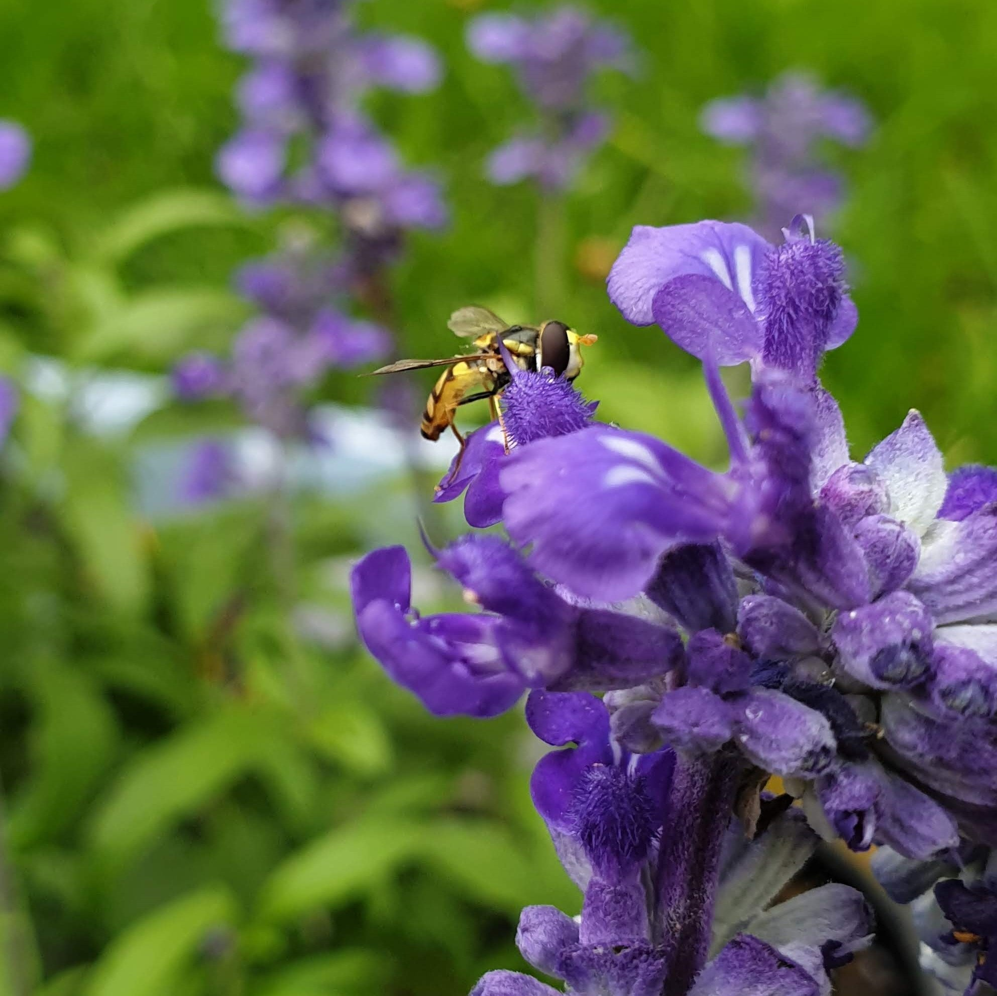 A hoverfly