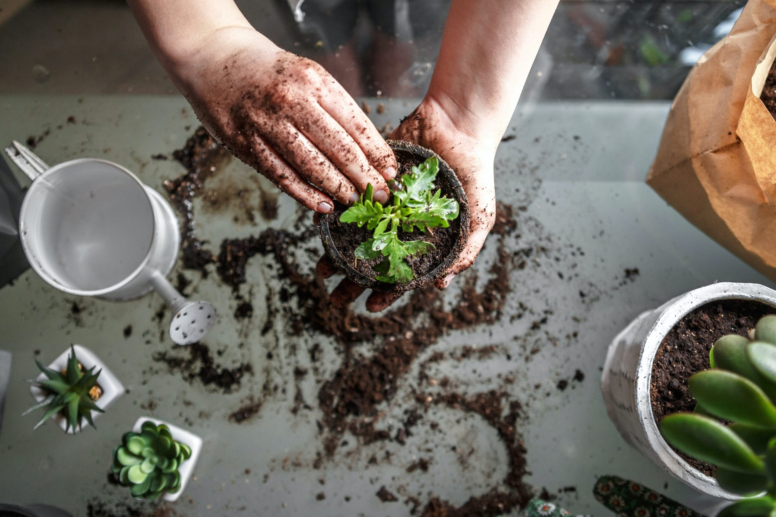 A person places a plant in a small pot with soil.