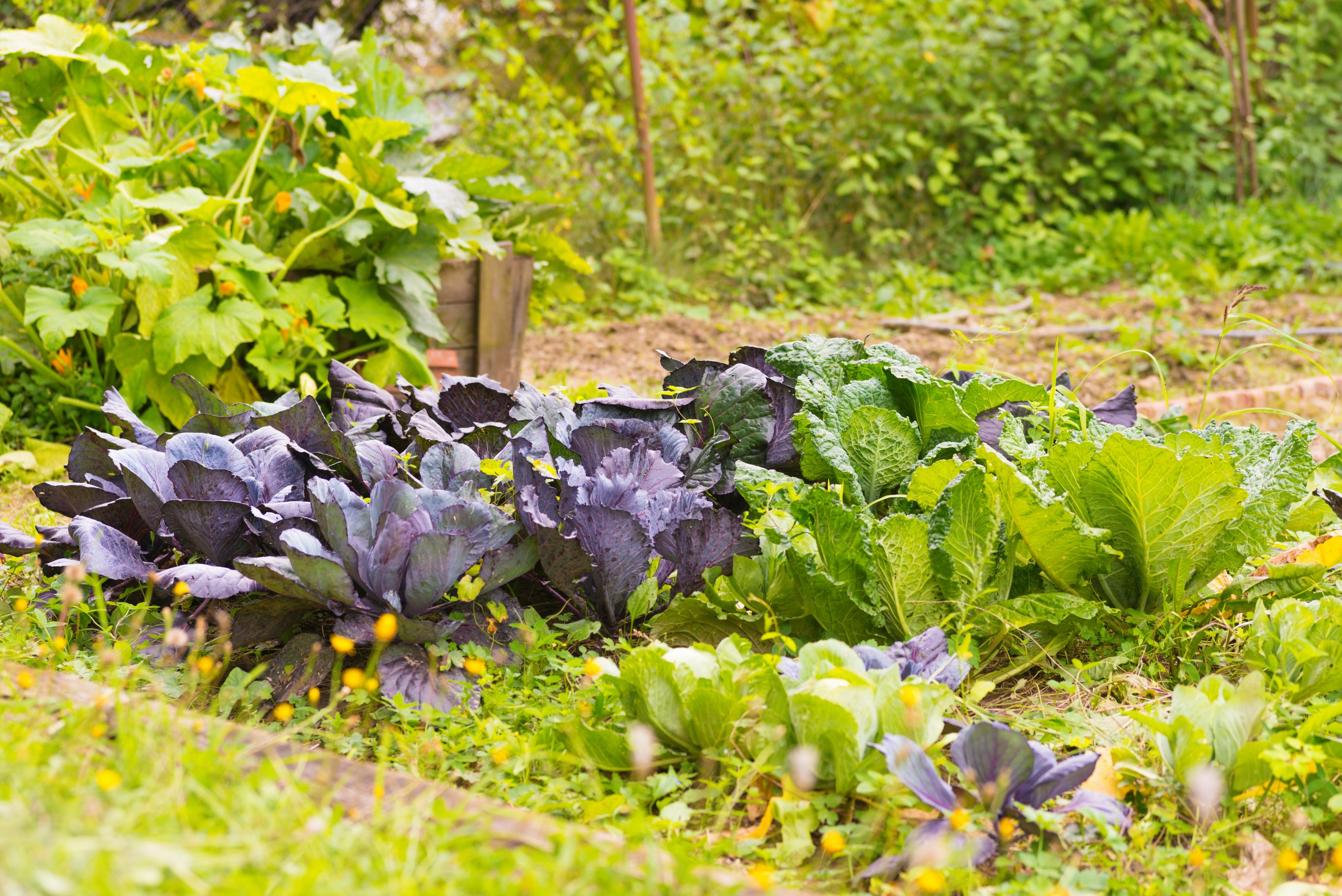 Rows of brassica plants