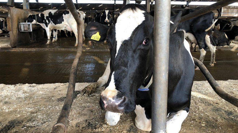 Cow in the dairy shed