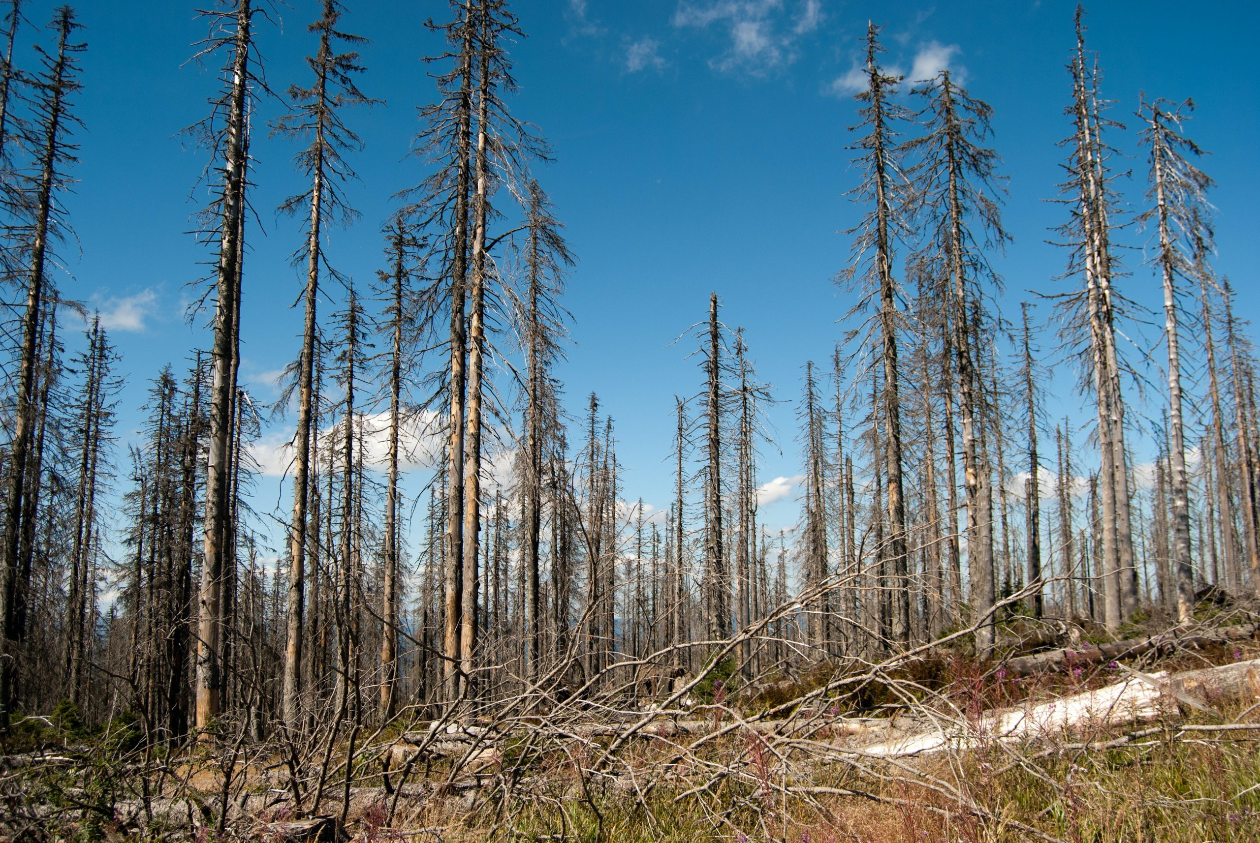 Forest of bare, damaged trees