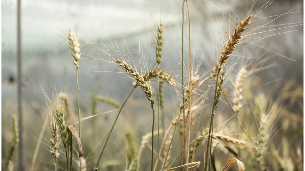 Wheat that has been gene edited to recreate a mutation found only once in nature which increases grain size and so has the potential to boost yields.